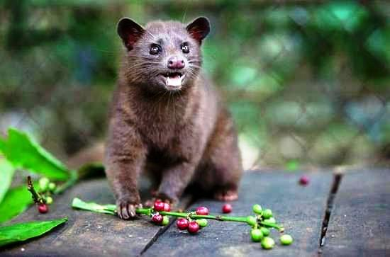 Coffee-luwak-the-civet