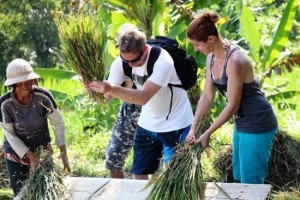 harvesting-rice-in-bali