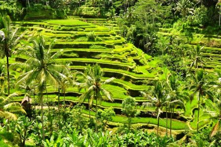 Ubud-ceking-rice-terrace